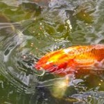Pictures of Koi Fish